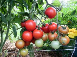 Tomato-Harvest-19520